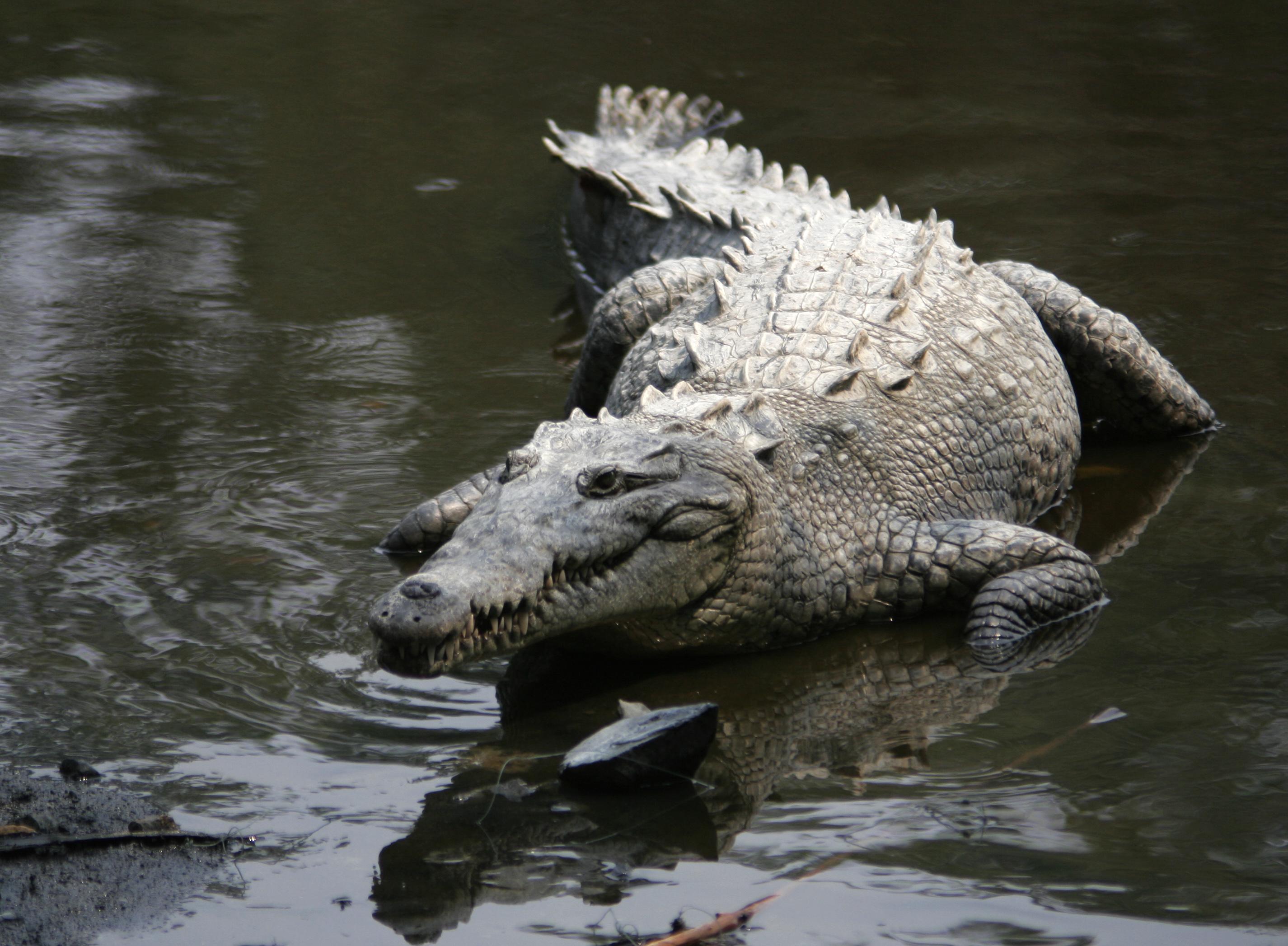 Crocodylus_acutus_mexico_02